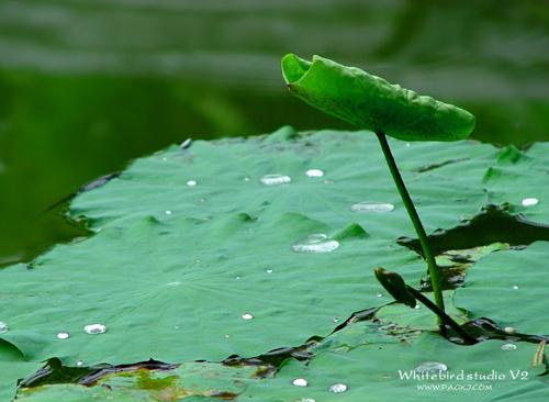 南植物园随拍,睡莲的叶子,广州摄影,壁纸,图片,风光,资料图片